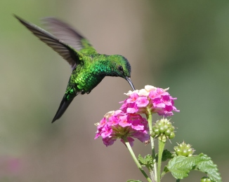 Image of a green hummingbird feeding on flower. This photo taken in western Panama (Pacific slope). The bird shows shades of bright green tones due to iridescence from natural light - no flash was used. The background is perfectly blurred. This beautiful shot shows a side view the hummingbird, with one eye and bill in perfect focus. The bird is sucking nectar from a flower while it hovers over it.