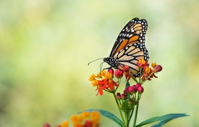 Monarch butterfly (Danaus plexippus) feeding on tropical milkweed flowers in the fall. Natural green background with copy space.